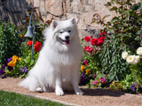 American Eskimo Dog on Garden Path with Flowers Photographic Print by Zandria Muench Beraldo