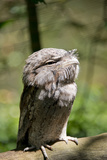 Australia, Darwin. Territory Wildlife Park. Tawny Frogmouth Photographic Print by Cindy Miller Hopkins