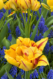 Netherlands, Lisse. Tulips and Grape Hyacinth at Keukenhof Gardens Photographic Print by Jaynes Gallery