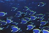 Schooling Powder Blue Surgeonfish, Acanthurus Leucosternon Photographic Print by Stuart Westmorland