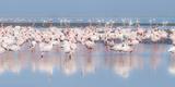 Africa, Namibia, Walvis Bay. Group of Greater Flamingos Fotografisk tryk af Jaynes Gallery