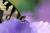 USA, Pennsylvania. Tiger Swallowtail Butterfly on Petunia Flower Photographic Print by Jaynes Gallery