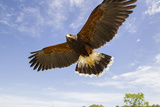 Kendall County, Texas. Harriss Hawk Landing, Captive Bird Photographic Print by Larry Ditto
