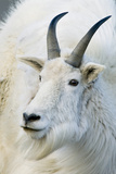 USA, Colorado, Mount Evans Recreation Area. Mountain Goat Portrait Photographic Print by Jaynes Gallery