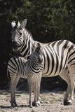 Namibia, Etosha National Park, Plains Zebra, Equus Burchellii Photographic Print by Paul Souders