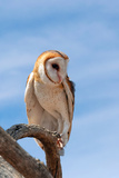 Barn Owl, Tyto Alba Photographic Print by Susan Degginger