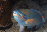 Princess Parrotfish. Curacao, Netherlands Antilles Photographic Print by Barry Brown
