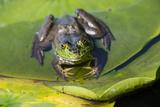 Wa, Juanita Bay Wetland, Bullfrog, Female, Rana Catesbeiana Photographic Print by Jamie And Judy Wild