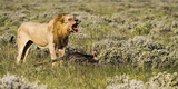 Africa, Namibia, Etosha National Park. Lion Roars over Carcass of Wildebeest Photographic Print by Jaynes Gallery