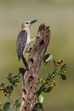 Hidalgo County, Texas. Golden Fronted Woodpecker in Habitat Photographic Print by Larry Ditto