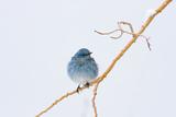 Wyoming, Sublette County, Migrating Mountain Bluebird Perched Reproduction photographique par Elizabeth Boehm