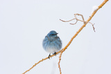 Wyoming, Sublette County, Migrating Mountain Bluebird Perched Photographic Print by Elizabeth Boehm