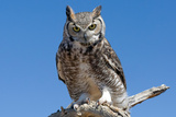Great Horned Owl, Bubo Virginianus Reproduction photographique par Susan Degginger