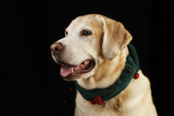 USA, Oregon, Keizer, Labrador Retriever in Her Christmas Collar, Pr Photographic Print by Rick A. Brown