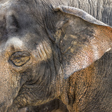 A Close Up of the Eye and Ear of an Asian Elephant, Cincinnati Zoo Photographic Print by Rona Schwarz