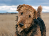 Portrait of an Airedale Terrier Photographic Print by Zandria Muench Beraldo