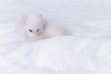 Arctic Fox camouflaged in the Snow Photographic Print by Art Wolfe