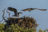 Adult Osprey Mate Leaving Nest, Flamingo, Everglades National Park, Florida Papier Photo par Maresa Pryor