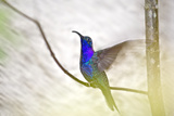 Violet Sabrewing Hummingbird. Hummingbird Gallery, Costa Rica Photographic Print by Thomas Wiewandt
