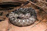 Desert Massasauga Rattlesnake, Sistrurus Catenatus Edwardsi Photographic Print by Susan Degginger
