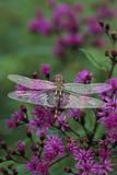 USA, Pennsylvania. Dragonfly on Joe Pye Weed Photographic Print by Jaynes Gallery