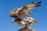 Ferruginous Hawk, Buteo Regalis Reproduction photographique par Susan Degginger