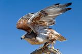 Ferruginous Hawk, Buteo Regalis Stampa fotografica di Susan Degginger
