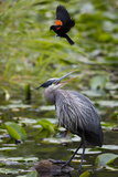 Wa, Juanita Bay Wetland, Great Blue Heron, Ardea Herodias Photographic Print by Jamie And Judy Wild