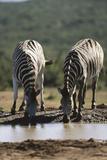 Namibia, Etosha National Park, Plains Zebra Drinking at Waterhole Photographic Print by Paul Souders