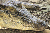 Saltwater Crocodile. Crocodile Paradise, Singapore Photographic Print by Thomas Wiewandt
