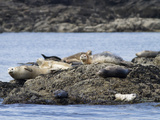 Wa, San Juan Islands, Haro Strait, Harbor Seals, Phoca Vitulina Photographic Print by Jamie And Judy Wild