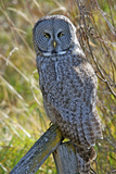 A Juvenal Great Grey Owl, the Largest Owl in the World Photographic Print by Richard Wright