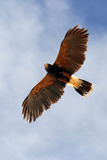 Harris Hawk, Parabuteo Unicinctus Photographic Print by Susan Degginger