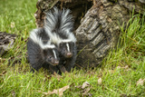 Minnesota, Sandstone, Two Striped Skunk Kits Outside Hollow Log Photographic Print by Rona Schwarz