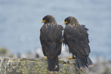 Falkland Islands. West Point Island. Striated Caracara Pair Photographic Print by Inger Hogstrom