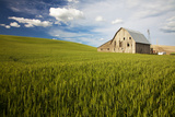 Old Barn Surrounded by Spring Wheat Field, Pr Photographic Print by Terry Eggers