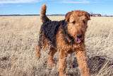 Airedale Terrier in a Field of Dried Grasses Photographic Print by Zandria Muench Beraldo