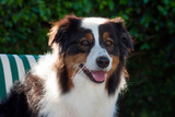 Australian Shepherd Portrait Photographic Print by Zandria Muench Beraldo