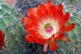 Claret Cup Cactus Flower, Echinocereus Triglochidiatus Photographic Print by Susan Degginger