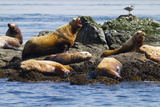 Wa, San Juan Islands, Haro Strait, Steller Sea Lions Photographic Print by Jamie And Judy Wild