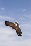 Kendall County, Texas. Harriss Hawk Landing, Captive Bird Reproduction photographique par Larry Ditto