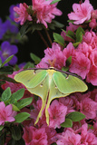 USA, Pennsylvania. Luna Moth on Pink Clematis Photographic Print by Jaynes Gallery