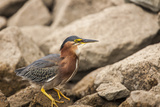 Lake Murray. San Diego, California. a Green Heron Photographic Print by Michael Qualls