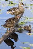 Wa, Mercer Slough, Mallard Fe Duck and Ducklings, Anas Platyrhynchos Photographic Print by Jamie And Judy Wild