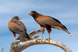 Harris Hawks, Parabuteo Unicinctus Photographic Print by Susan Degginger