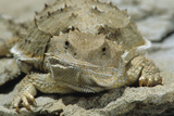 Sort Horned Lizard with Nasal Valves. Black Hills, South Dakota Reproduction photographique par Thomas Wiewandt