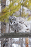 USA, Wyoming, Great Gray Owl Rousing Feathers on Fence Photographic Print by Elizabeth Boehm