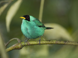 Green Honeycreeper, Vara Blanca, Costa Rica Photographic Print by Thomas Wiewandt