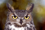 Great Horned Owl, Arizona Sonora Desert Museum, Tucson, Arizona Photographic Print by Thomas Wiewandt