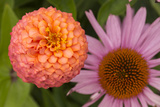 Michigan, Dearborn. Peach Zinnia and Purple Coneflower Photographic Print by Cindy Miller Hopkins